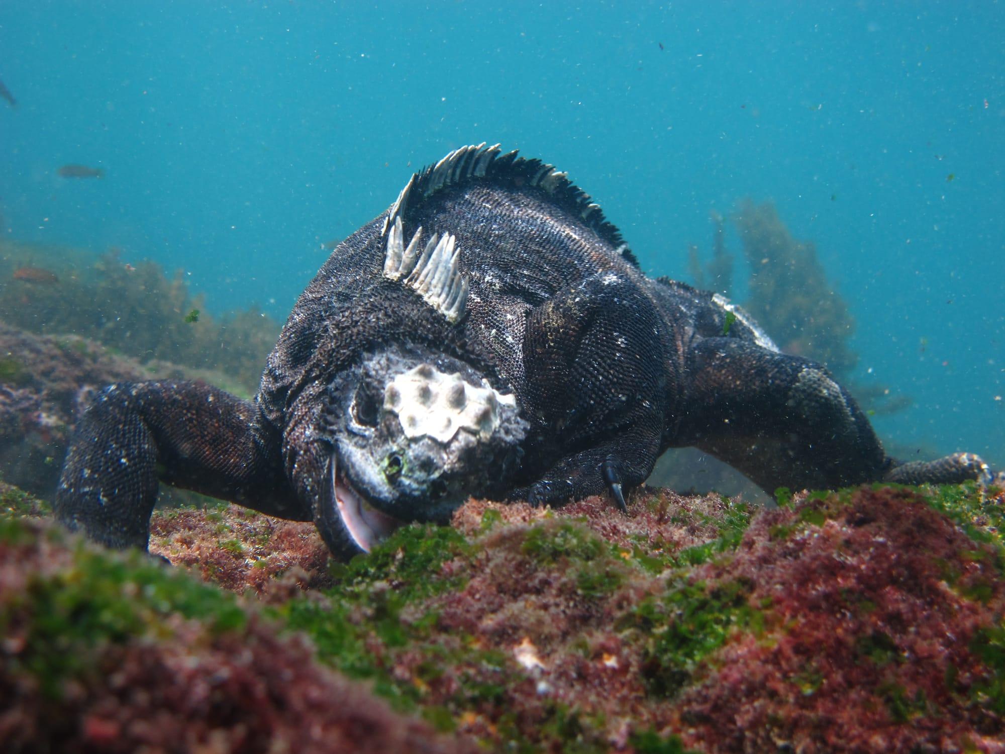 Iguane marin des Galapagos qui mange de l'algue verte au fond de l'eau
